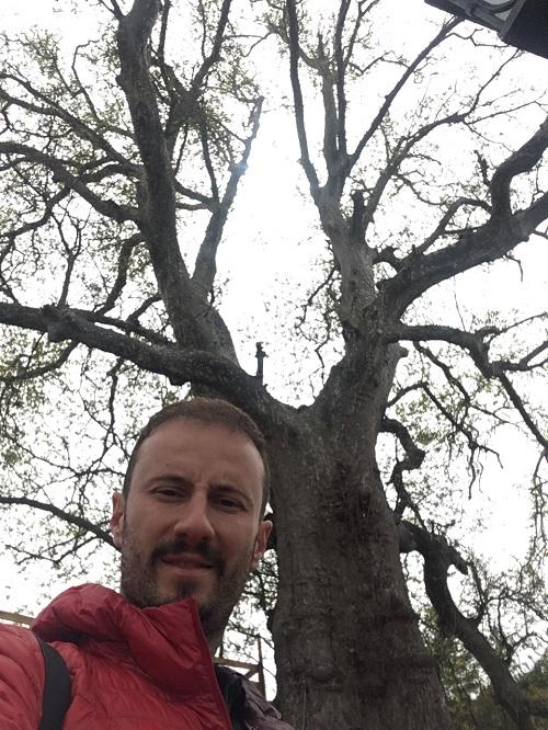 İnebolu Çınar ağacı